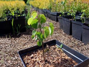 Puošmedis auginimas (sodinukai pirkti vazone)