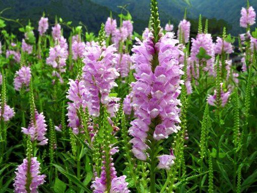 Gėlės nuotrauka. (Pavadinimas: Obedient plant)