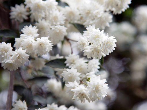 Gėlės nuotrauka. (Pavadinimas: Fuzzy deutzia)