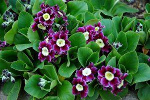 Raktažolė pubescens