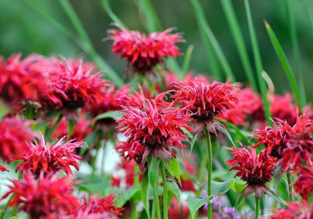 Raudona gėlė monarda