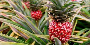 Raudonas ananasas