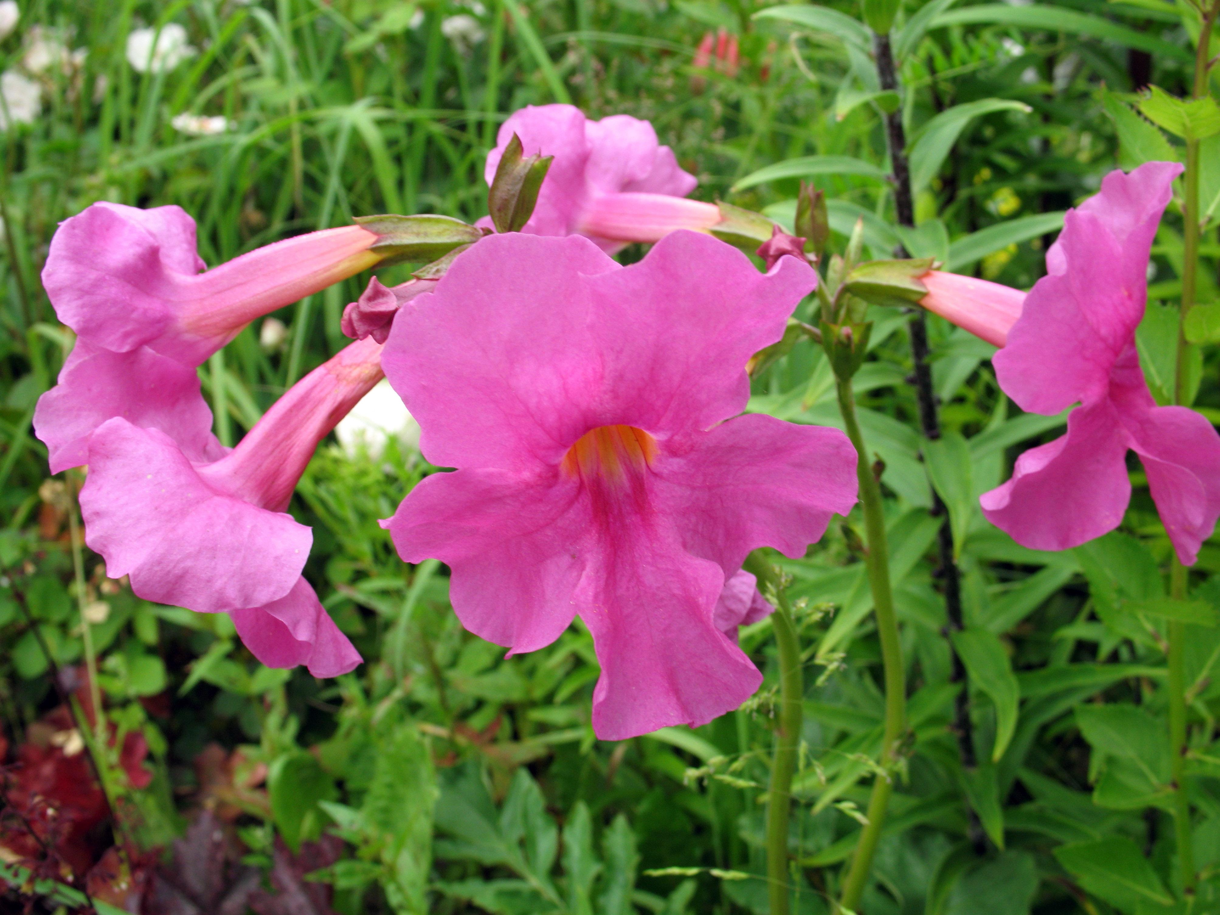 Rausva gėlė inkarvilėja