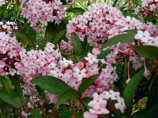 Gėlės nuotrauka. (Pavadinimas: Pleasant Luculia)