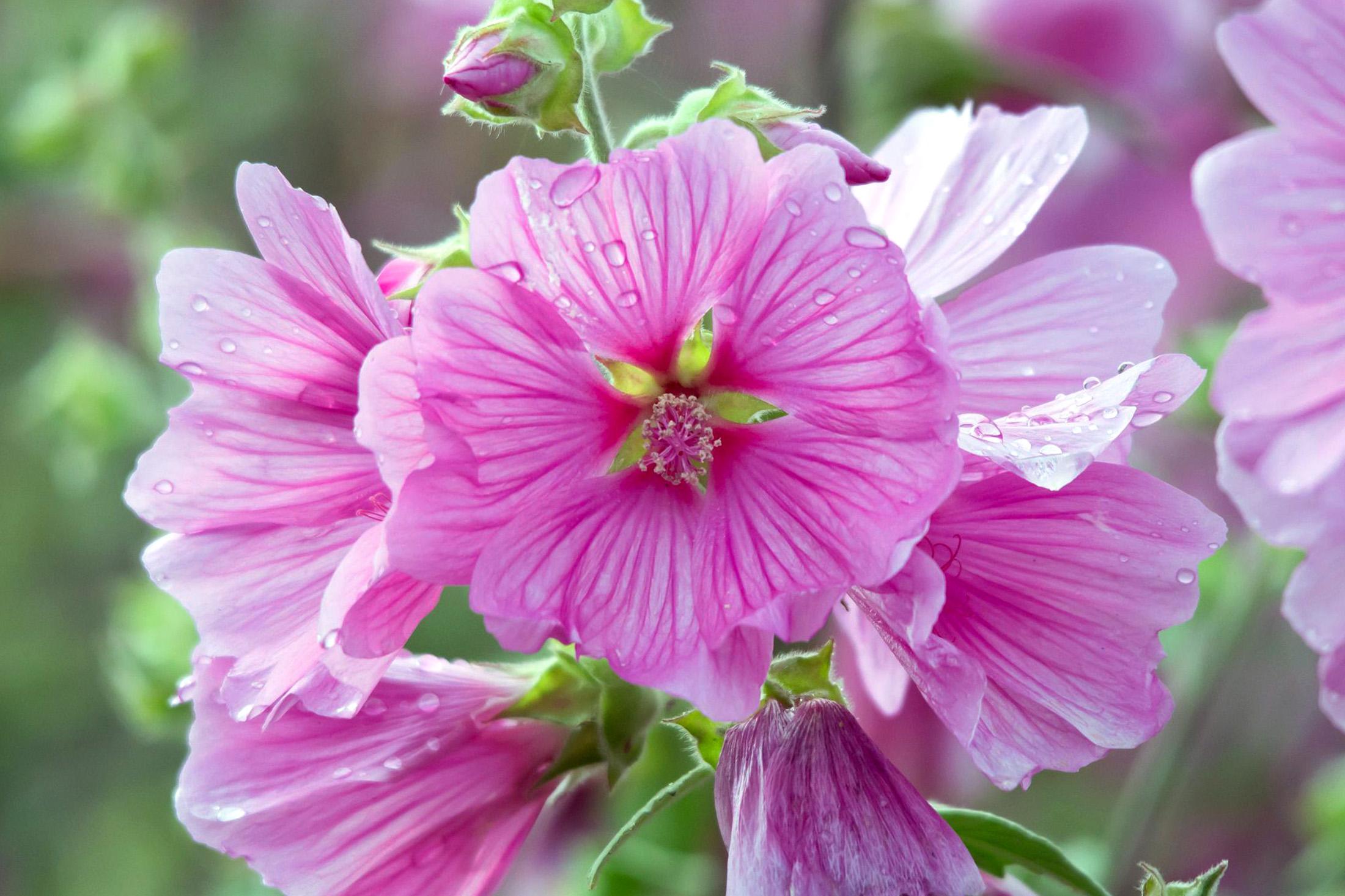 Rausvos rožūnės (lauko gėlės)