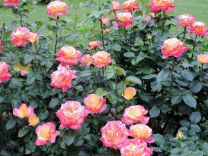 Rožės auginimas lauke
