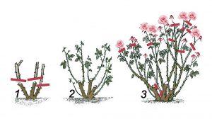 Rožės genėjimas