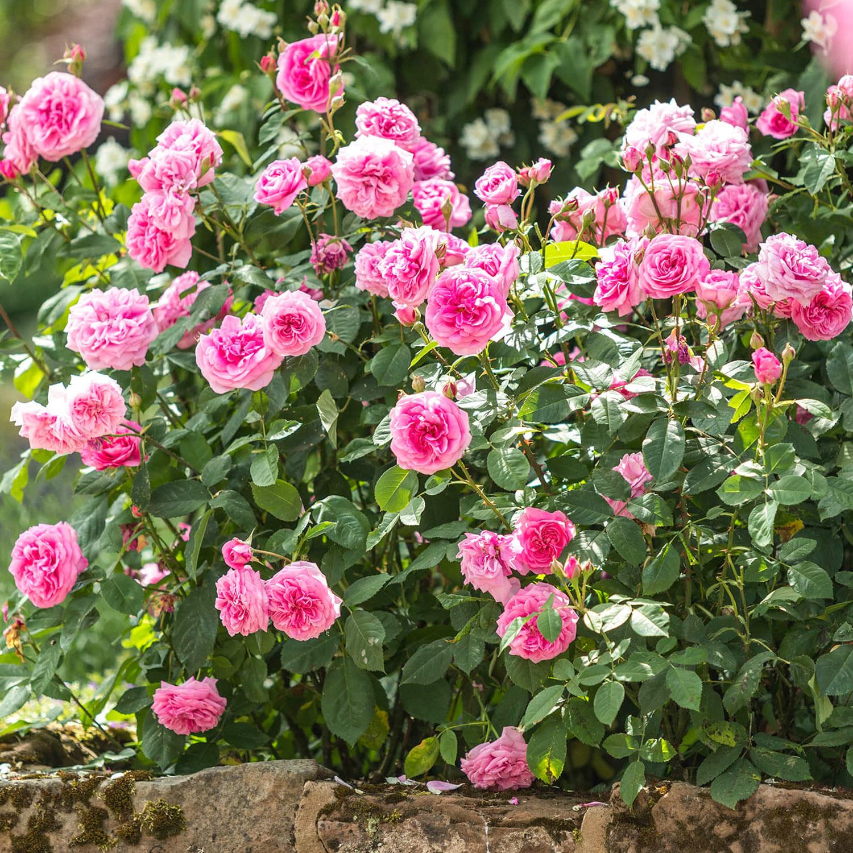 rožės krūmas