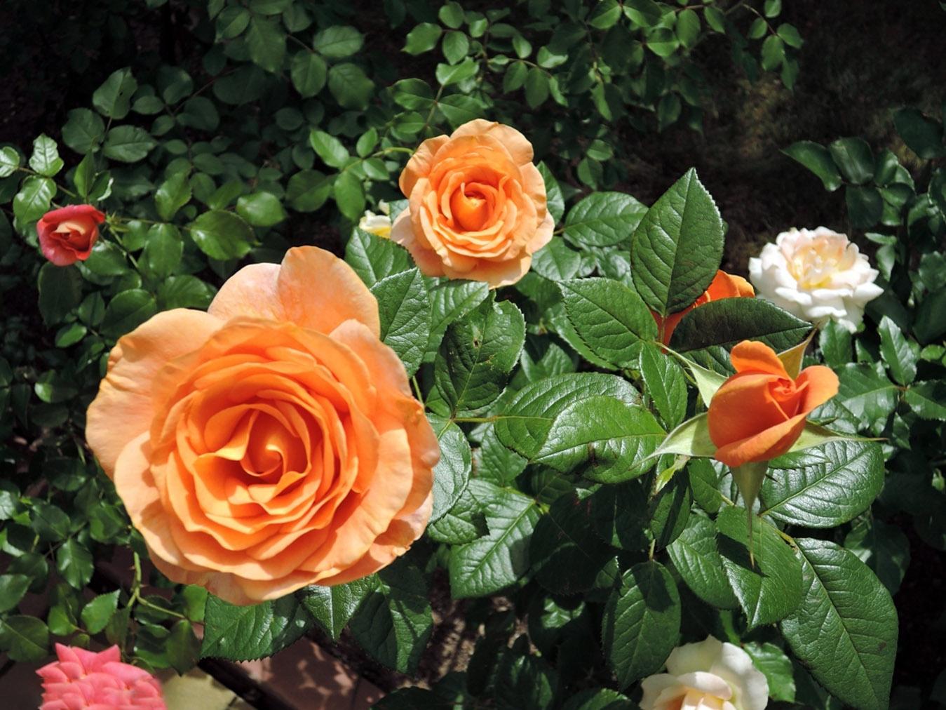 Rožės žiedai
