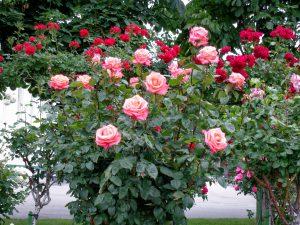 Rožių auginimas lauke