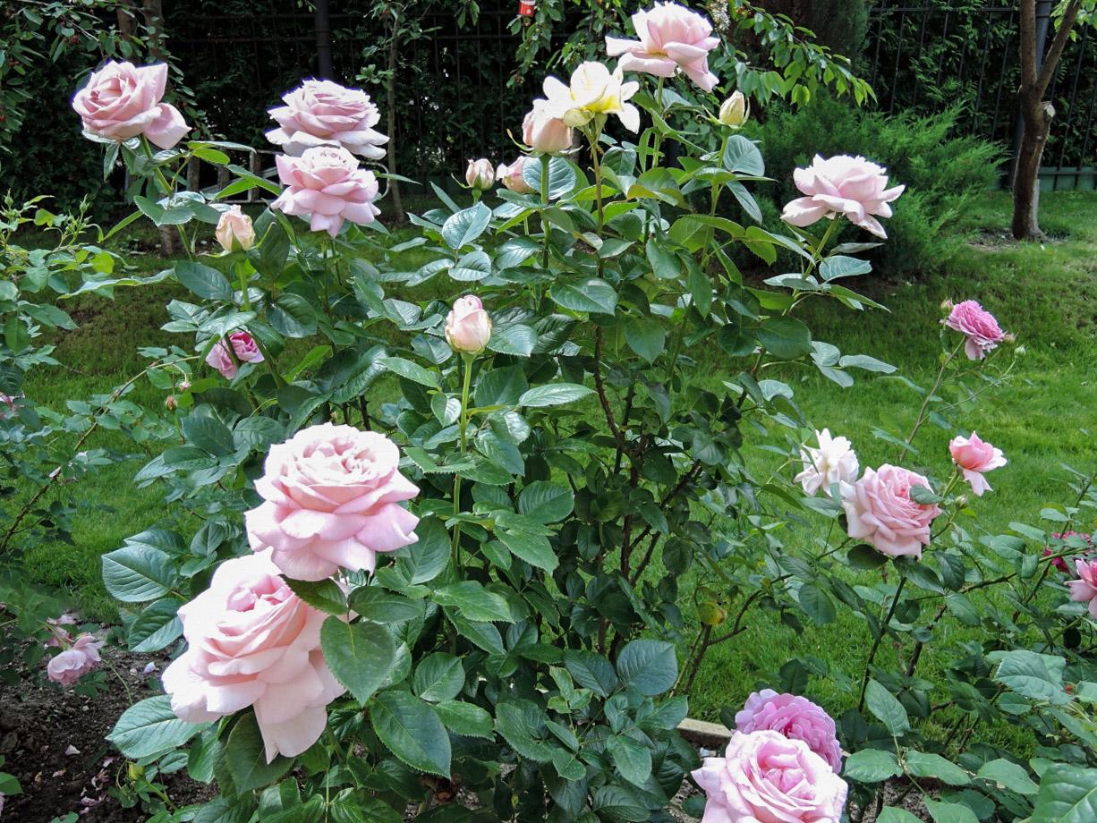 Rožių auginimas
