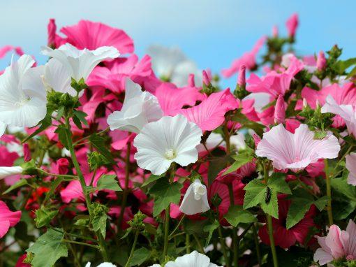 Gėlės nuotrauka. (Pavadinimas: Tree mallow)