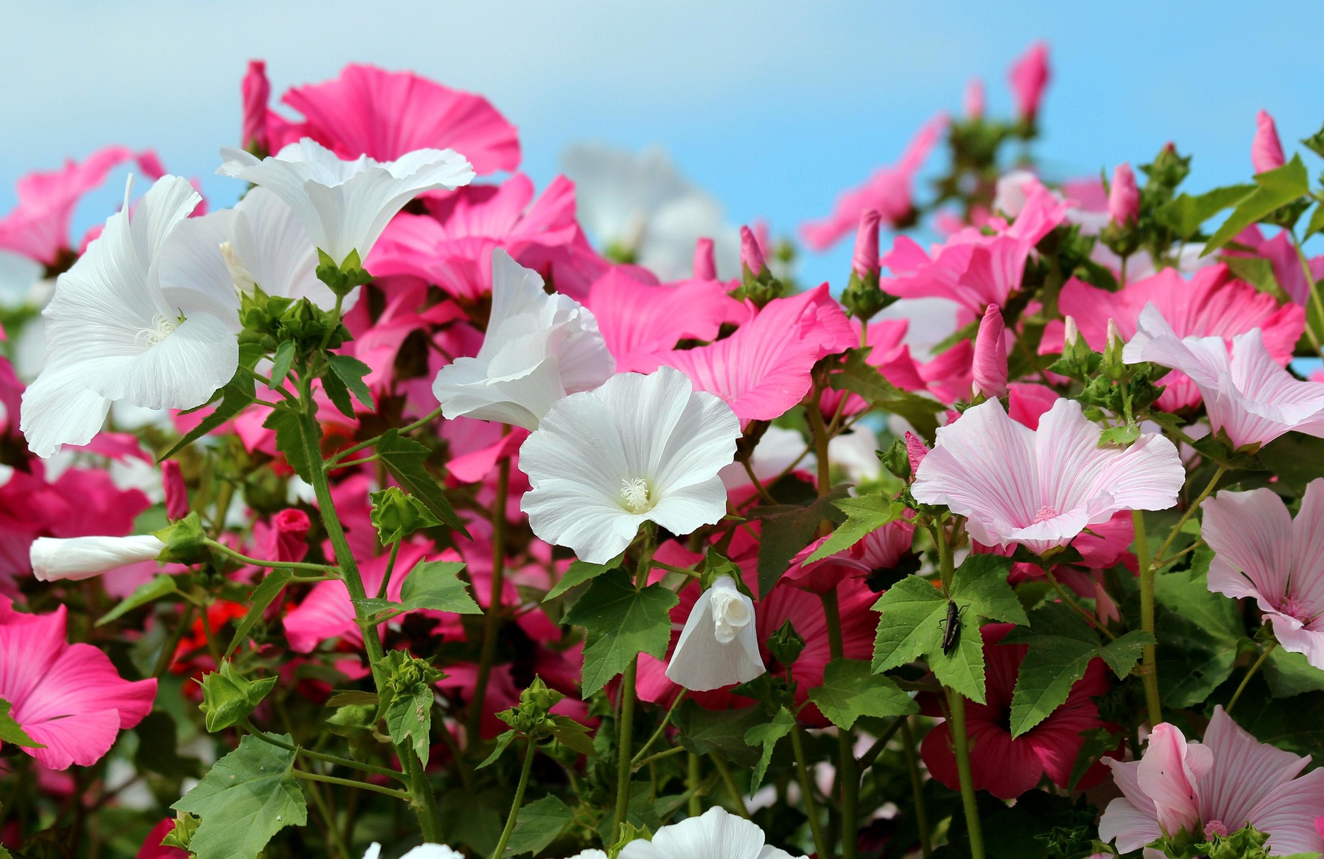 Gėlė Rožūnė