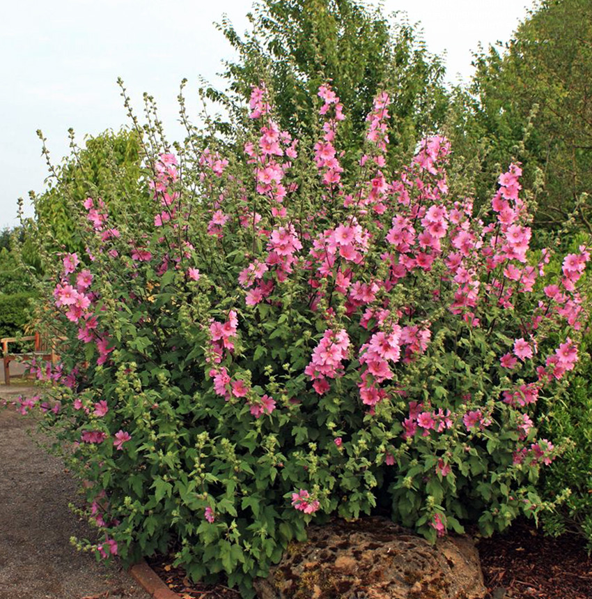 Rožūnės krumas (žydintis)