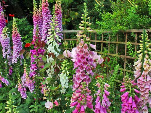 Gėlės nuotrauka. (Pavadinimas: Foxgloves)