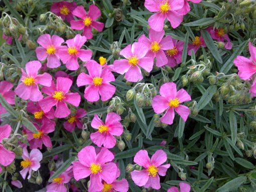 Gėlės nuotrauka. (Pavadinimas: Rock-rose)