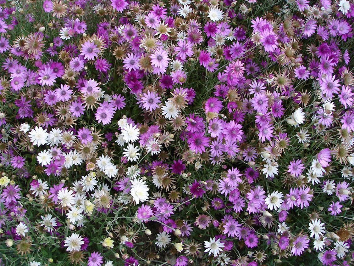 Sausiukai (gėlės)