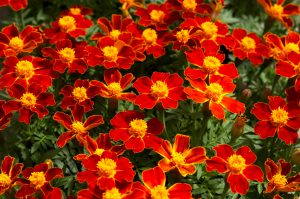 Serenčiai tenuifolia