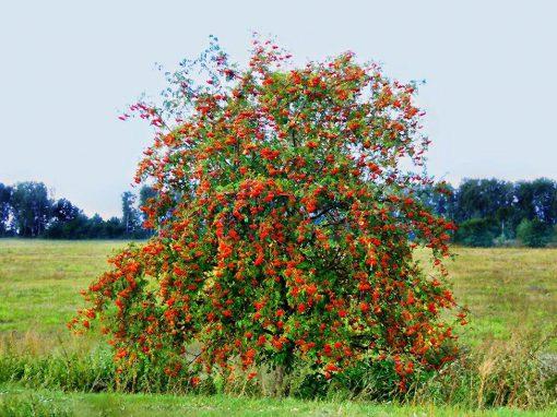 Gėlės nuotrauka. (Pavadinimas: Mountain-ash)
