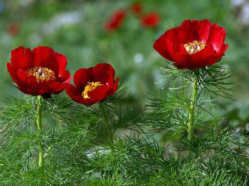 Gėlės nuotrauka. (Pavadinimas: Siauralapis bijūnas)