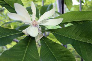 Skėtinė magnolija (magnolia tripetala)