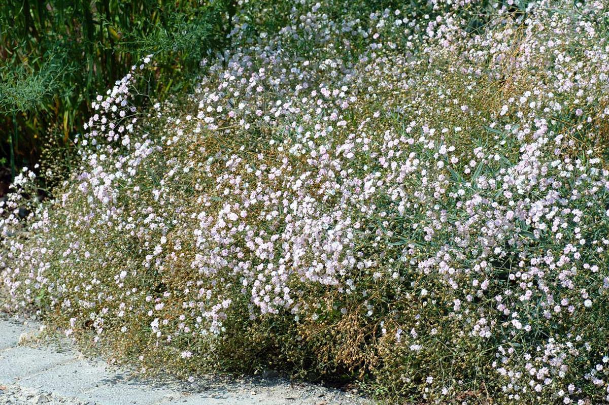 Šliaužiančioji guboja (daugiametė gėlė)