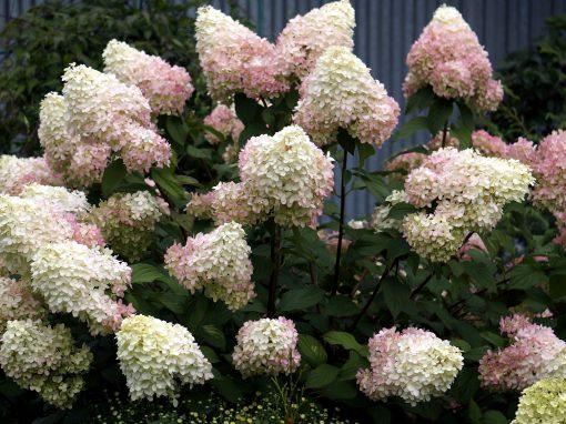 Gėlės nuotrauka. (Pavadinimas: Panicled hydrangea)