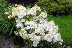 Šluotelinė hortenzija bobo