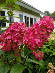 Šluotelinė hortenzija fire light