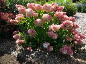 Šluotelinė hortenzija little lamb