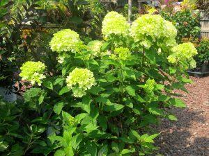 Šluotelinė hortenzija little lime