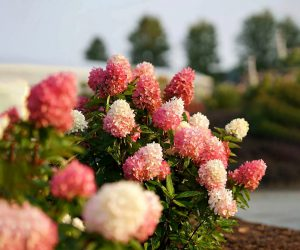 Šluotelinė hortenzija zinfin doll