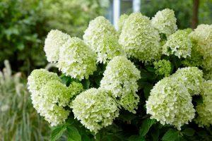 Šluotinė hortenzija