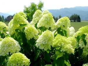 Šluotelinė hortenzija limelight