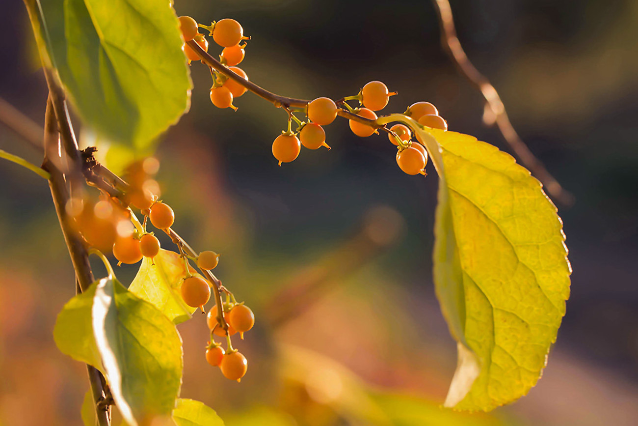 Smaugikas (Vijoklinis augalas su uogomis)