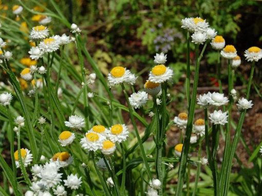 Gėlės nuotrauka. (Pavadinimas: Winged Everlasting)