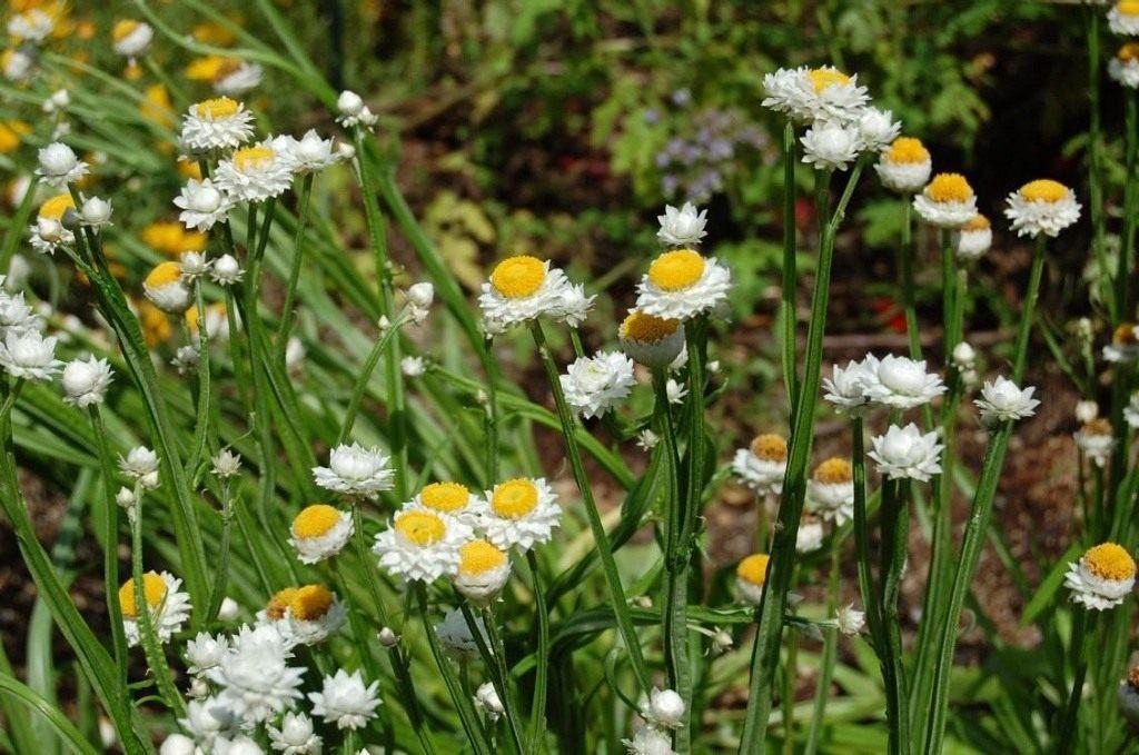 Sparnuotoji sagutė (gėlė)