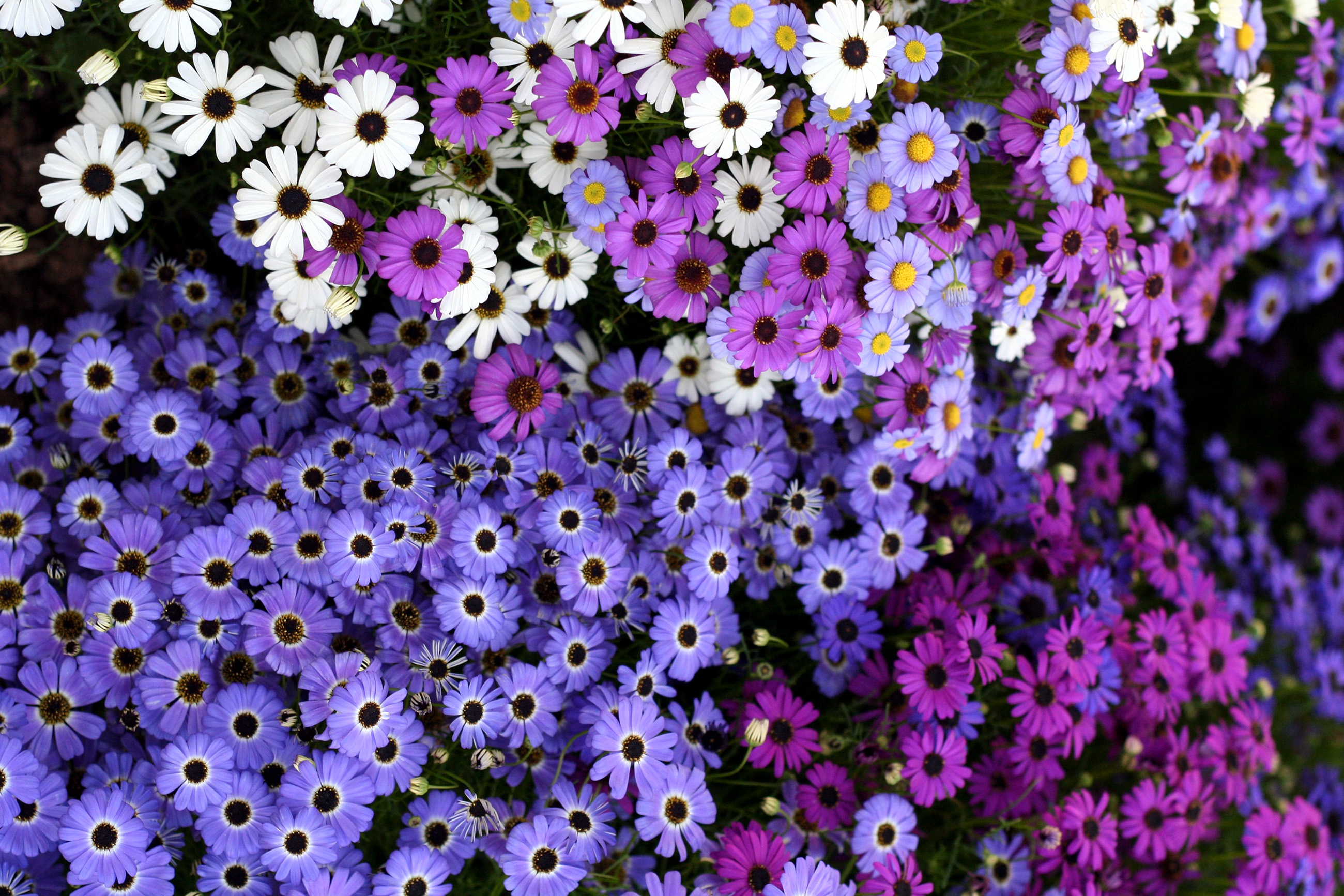 Trumpakuodė (gėlė)