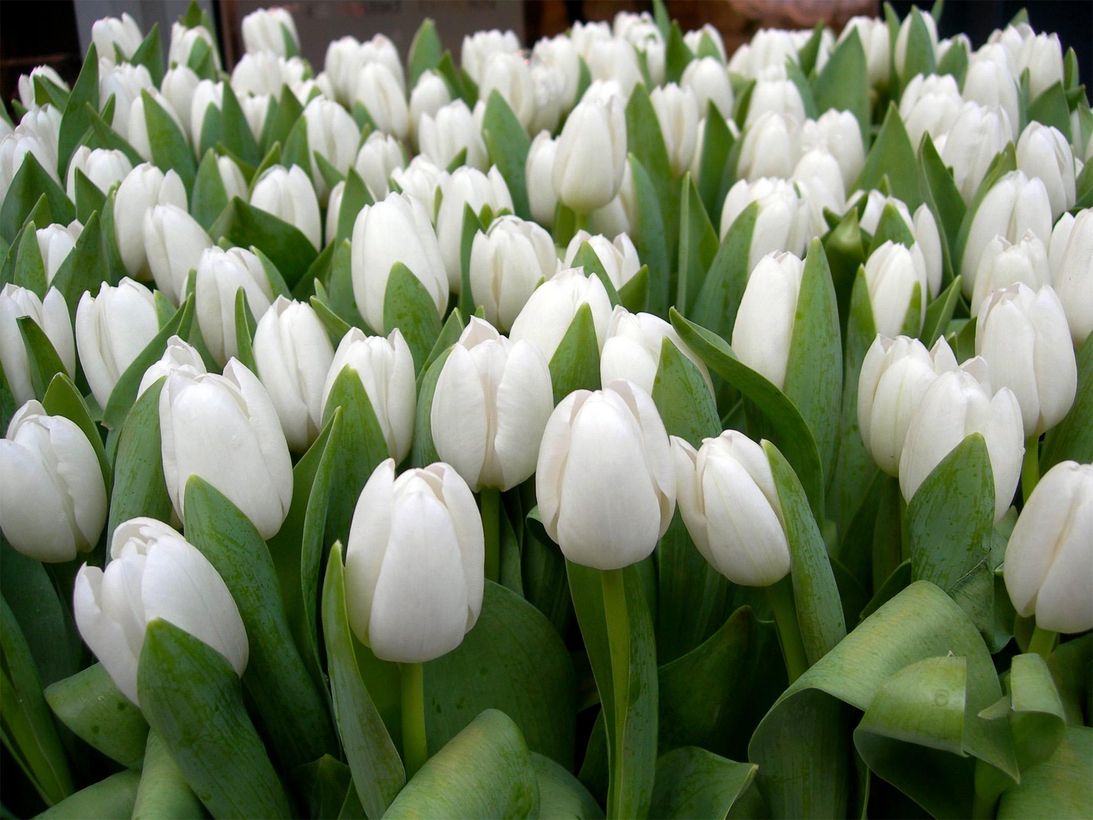 Tulpės Triumph (baltos)