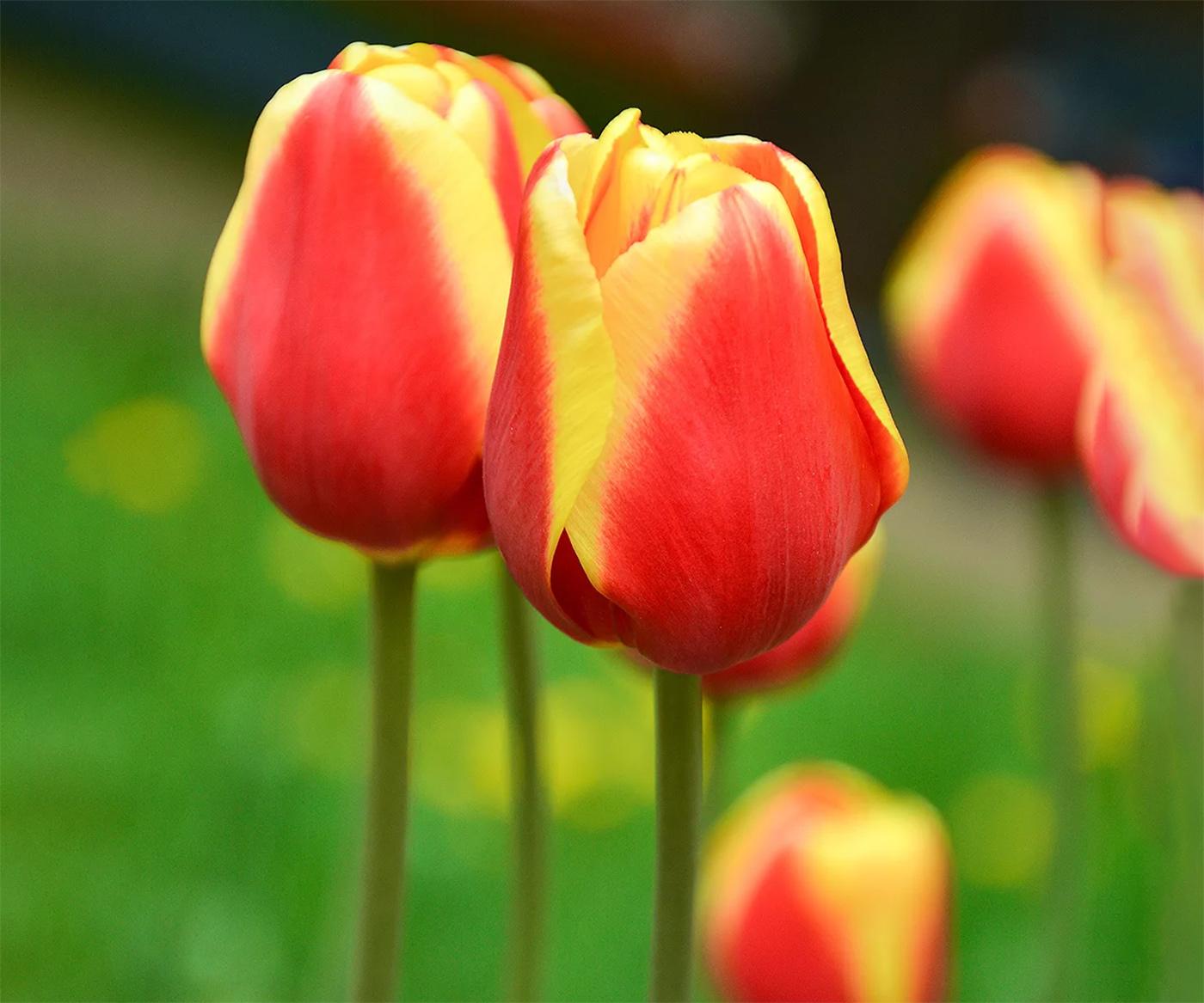 Tulpės Triumph (raudonai geltonos)