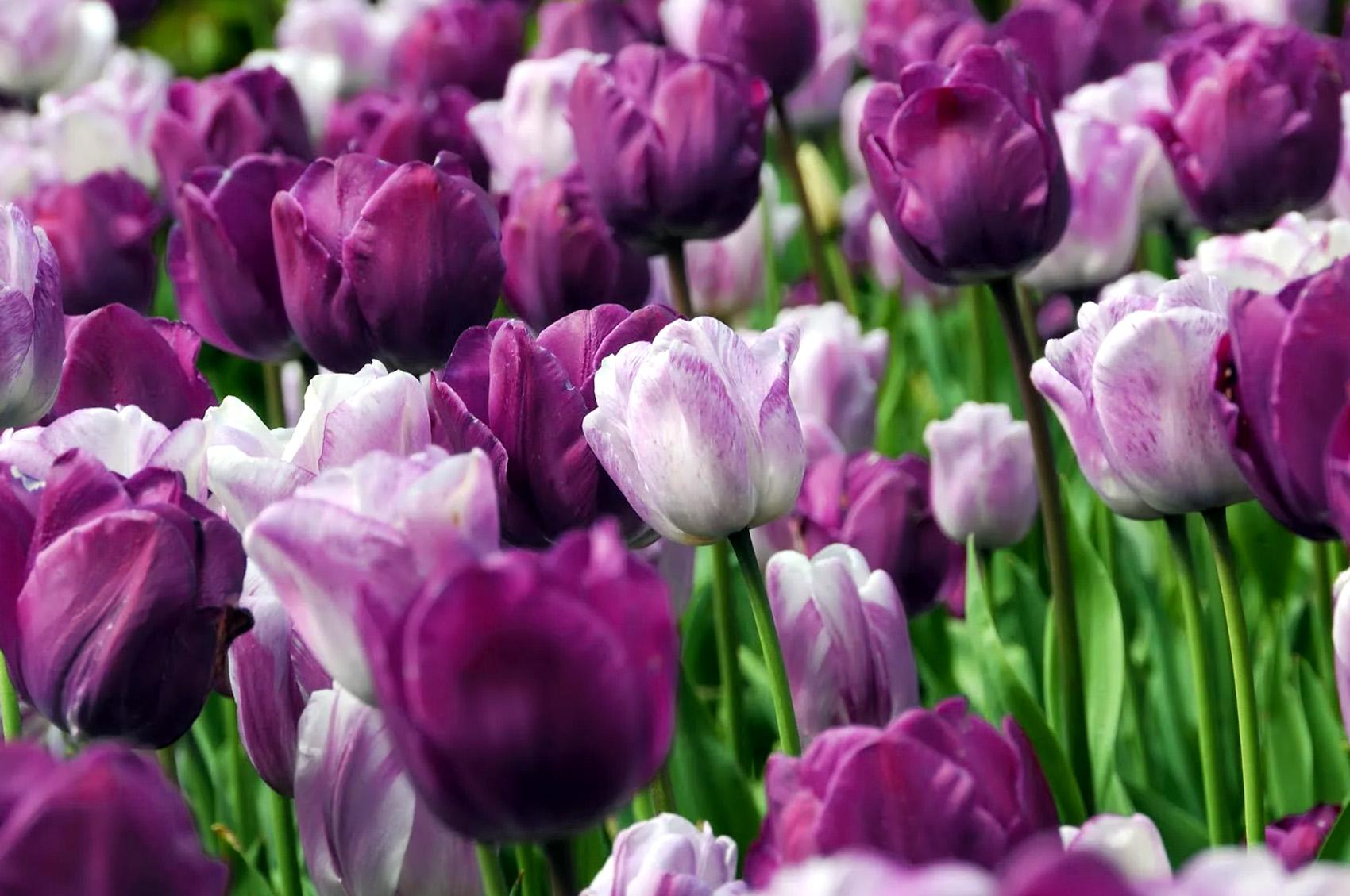 Tulpės triumph