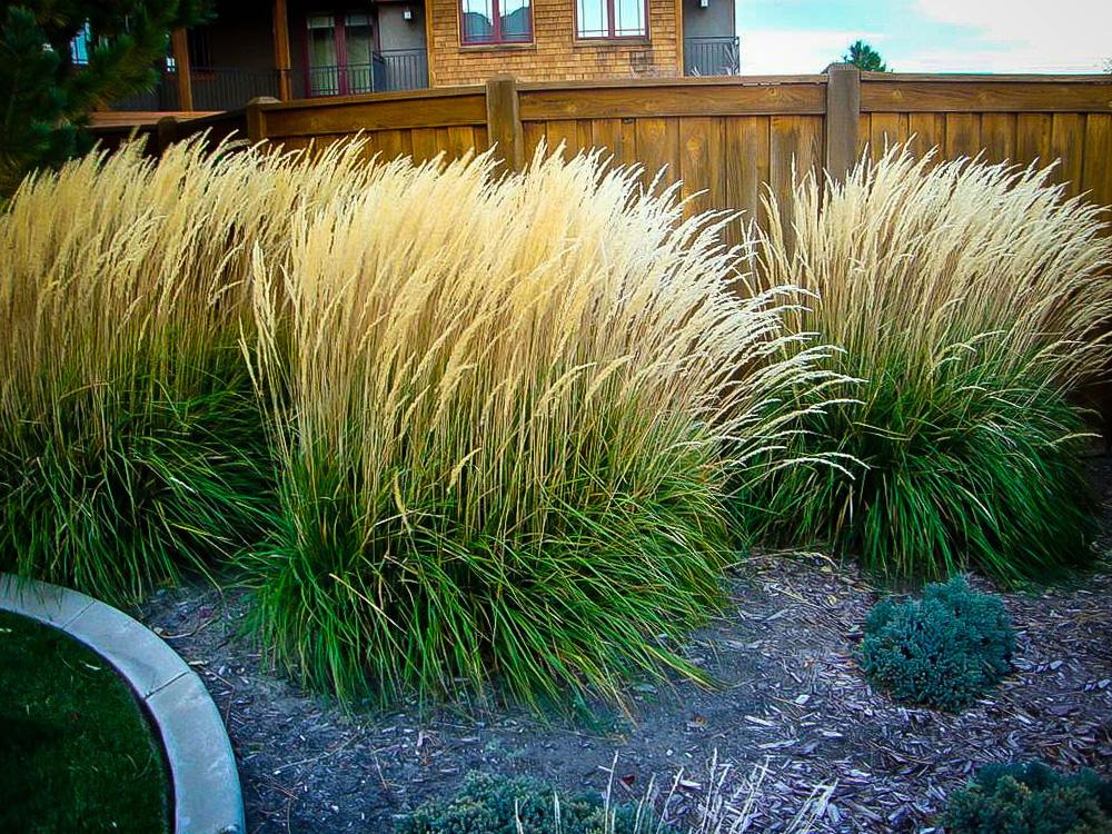 Varpinis augalas lendrūnas (Dekoratyvinė žolė)