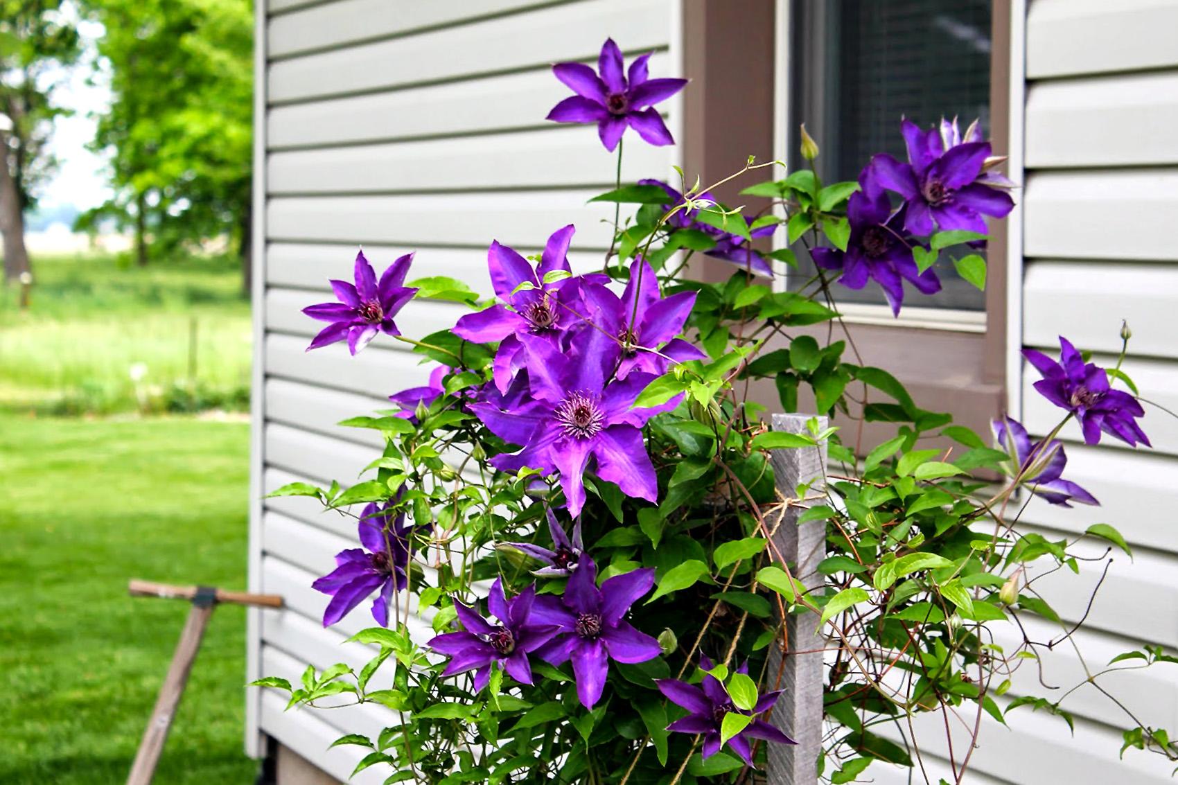 Žydinti vijoklinė gėlė raganė (lauke prie namo)