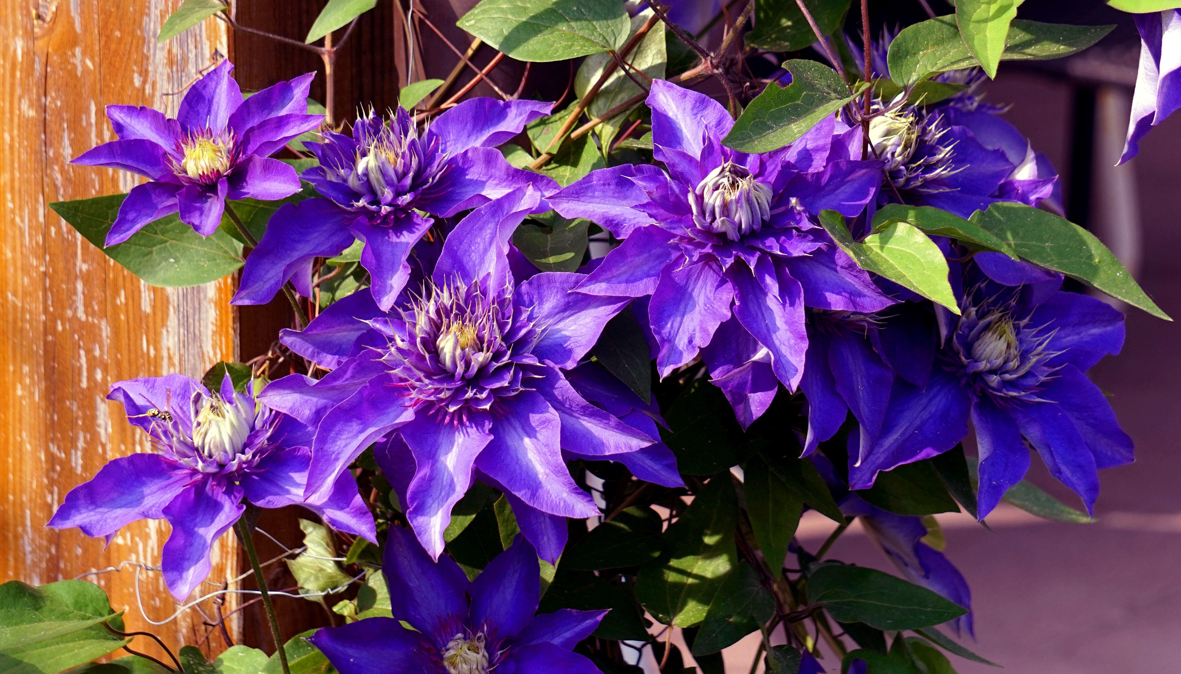 Raganė (gėlė)