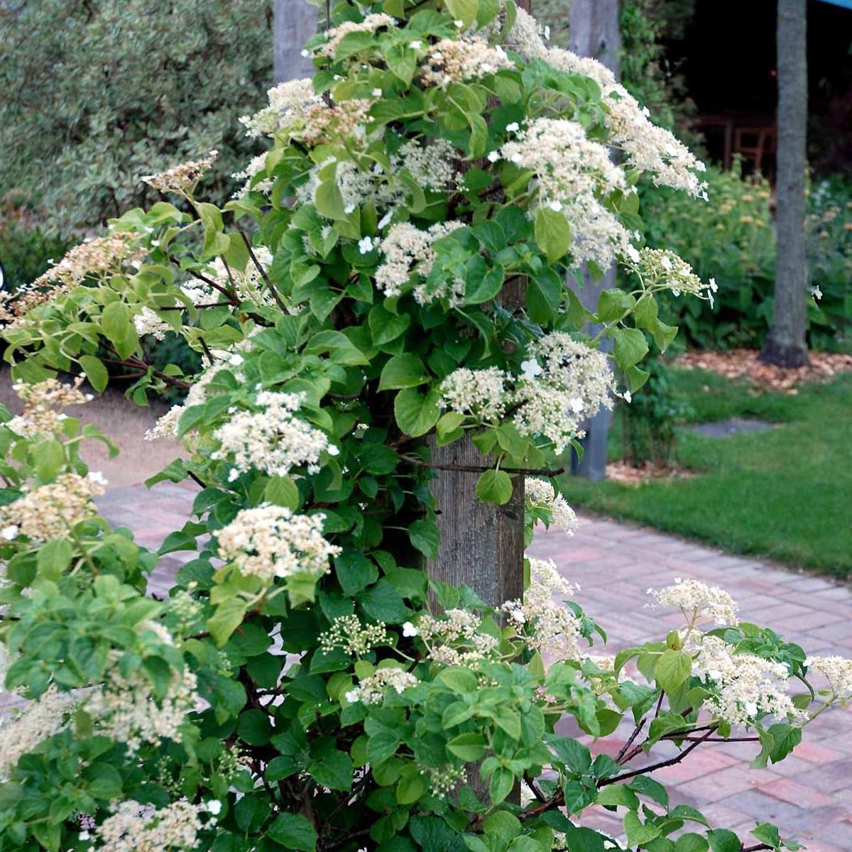 Vijoklinė hortenzija