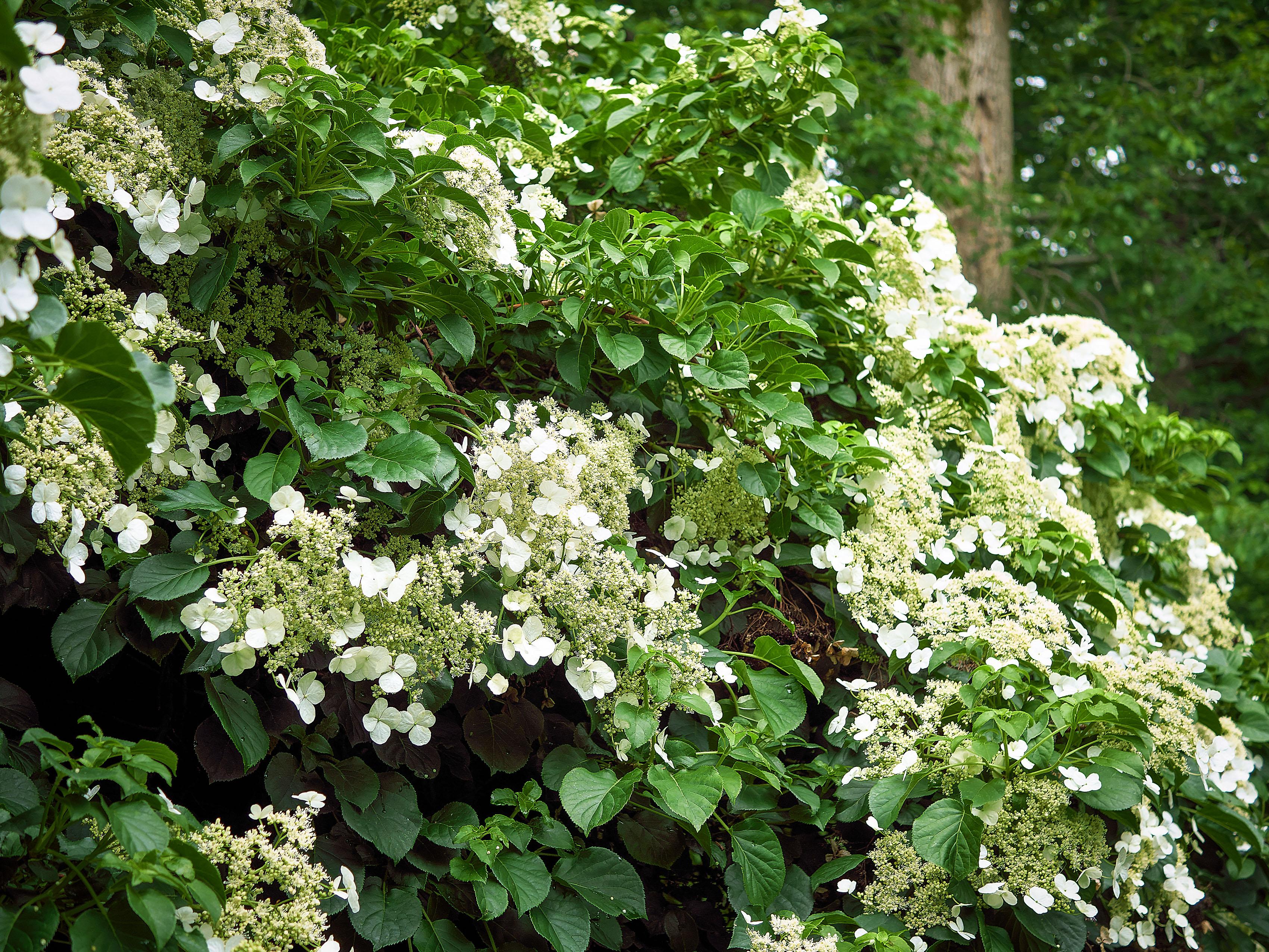 Vijoklinės hortenzijos krūmas