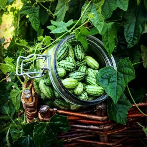 Vijoklis afrikinis agurkas