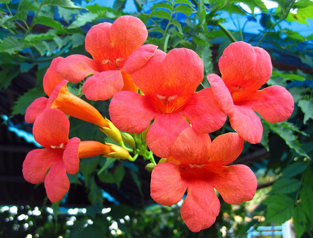 stambiažiedė ląstūnė (vijoklinė gėlė)