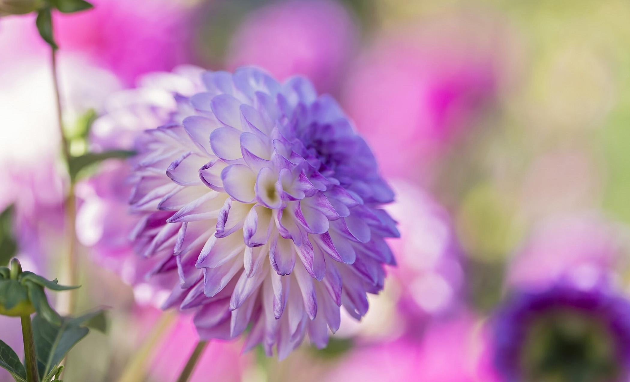 Violetinės chrizantemos