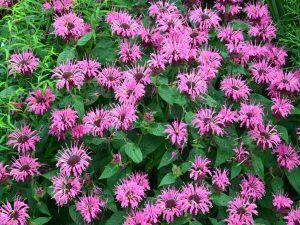Violetinės gėlės monardos